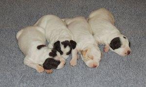 Striking Elhew Rex x Striking Elhew Haley Pups, 9 days old