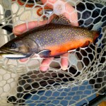 Good looking wild Maine brookie