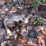 Skull & bones from a young moose. Probably hit by a truck.