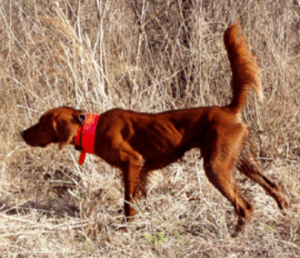 Come Back Red Setter's Audie--2nd Place 2007 Futurity. Pic from Come Back's site.