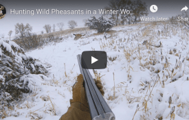 Hunting Wild Pheasants in a Winter Wonderland - South Dakota 2020
