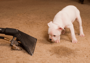 How To Remove Dog Urine Smell From Carpet Dogs Can Easily Pick Odor Causing Repeat Accidents