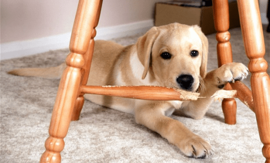 How To Stop Dog Chewing Furniture Wood And Its Paws Dogs Cats