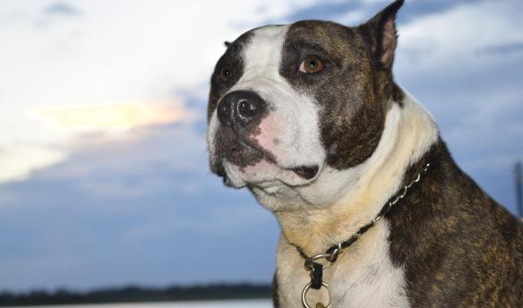 Large Grey and White Dog Wanting A Walk | Dogs Colorado