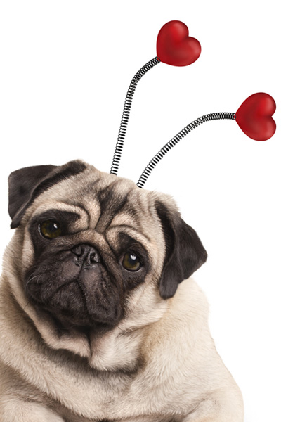 pug with heart headband for valentines day