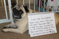Break And Enter Pug - Dogshaming