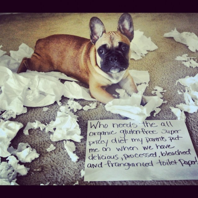 Adorable Frenchie Eats All The Toilet Paper