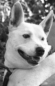 bull terrier queensland heeler mixed breed dog  online