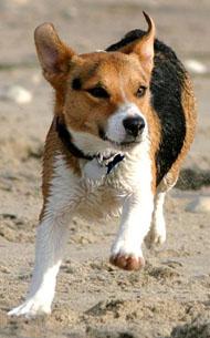 Pembroke Welsh Corgi Jack Russell Terrier mixed breed dog