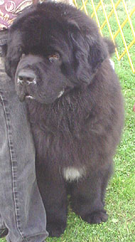 newfoundland dog  working dog breeds from the online dog encyclopedia  dogs in depthcom