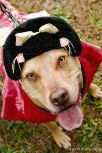 Pitbull | Dogs In Duds For Dogs Who Like To Dress Up