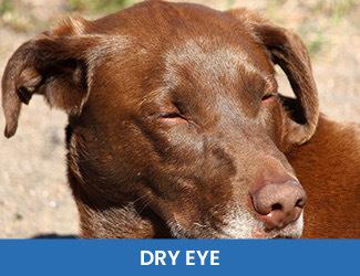 Dry Eye Dogs