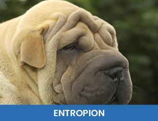entropion dogs