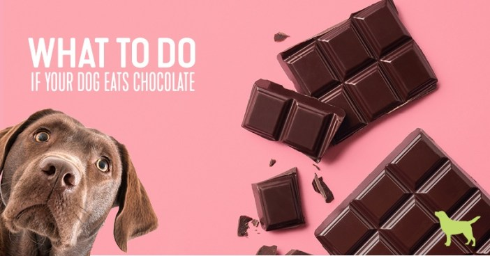 what to do if your dog eats chocolate featured image