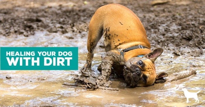 """French Bulldog rolling in the mud- title"""" Heal your dog with dirt"""""""