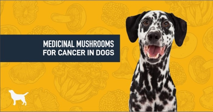 Dalmatian dog looking at the camera, medicinal mushrooms for dogs