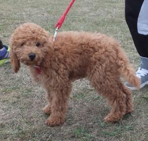 Cockerpoo pup