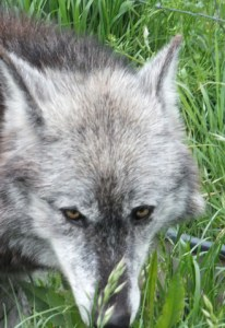wolves 7
