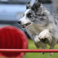 Cane sportivo: a digiuno prima della gara?