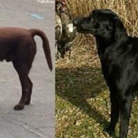 COLD TAIL: Sindrome della coda fredda nel cane