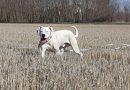 Dogo Argentino: carattere, compatibilità e gestione