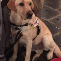 Camilla, il cane guida attaccato da un  Pitbull. Proprietario si dilegua