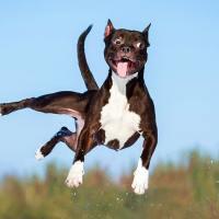 La rottura del legamento crociato craniale nel cane