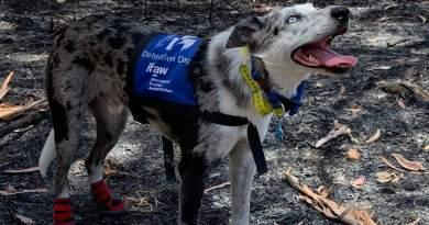Bear: il cane addestrato per salvare i Koala in Australia