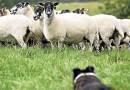 Cani da pastore e la prima esperienza sul gregge