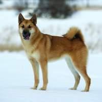 Cani del nord Europa: quelli meno conosciuti!