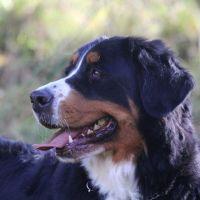 Bovaro del Bernese: un amico per tutta la famiglia