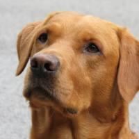 Approccio cognitivo nell'addestramento del cane da ricerca, virtuosismo?