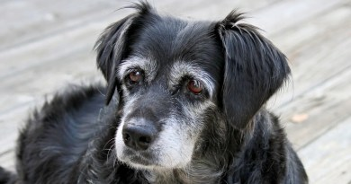 Sindrome da disfunzione cognitiva del cane anziano