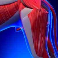 Cane sportivo e infiammazione del muscolo ileopsoas