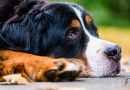 Un cane su 5 soffre di dolore articolare