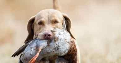 """Arrivano i city hunters: al servizio dei cani da caccia """"cittadini"""""""