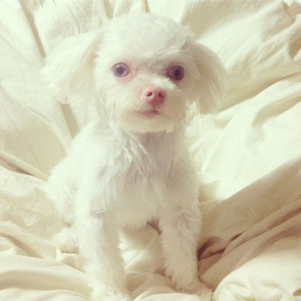 Note the pale pink of the skin surrounding this albino Maltese's eyes and on its nose. Photo by eunjishere on Instagram.