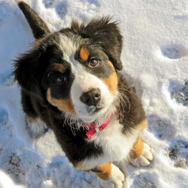 Cute Hug Wallpaper These Pictures Of Bernese Mountain Dog Puppies Lead