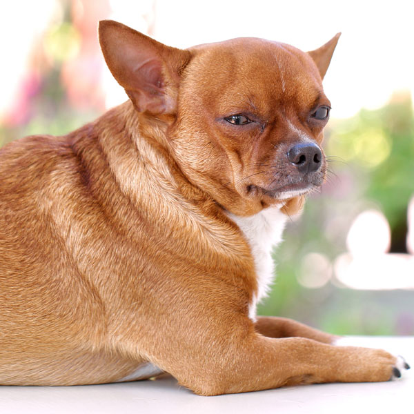 A bloated dog looking upset.
