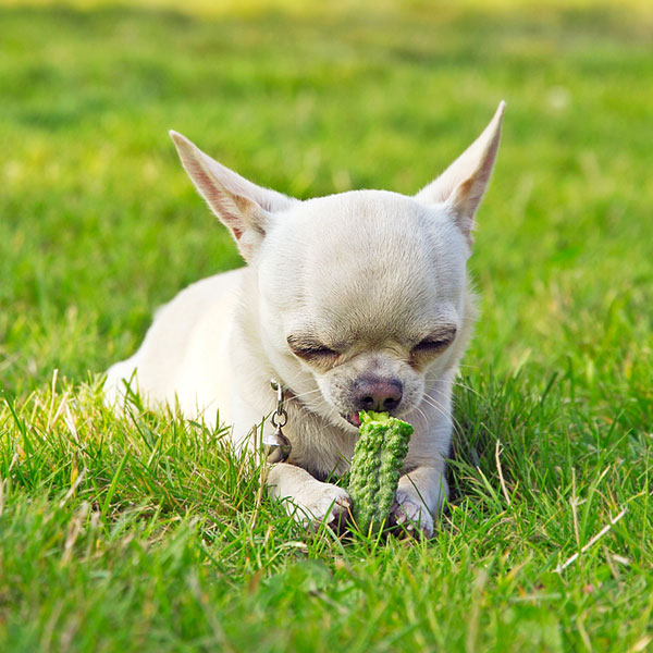 A dog on the grass eating a cucumber.