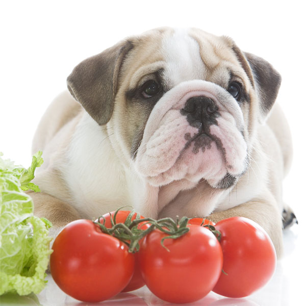 An English bulldog puppy with tomatoes.