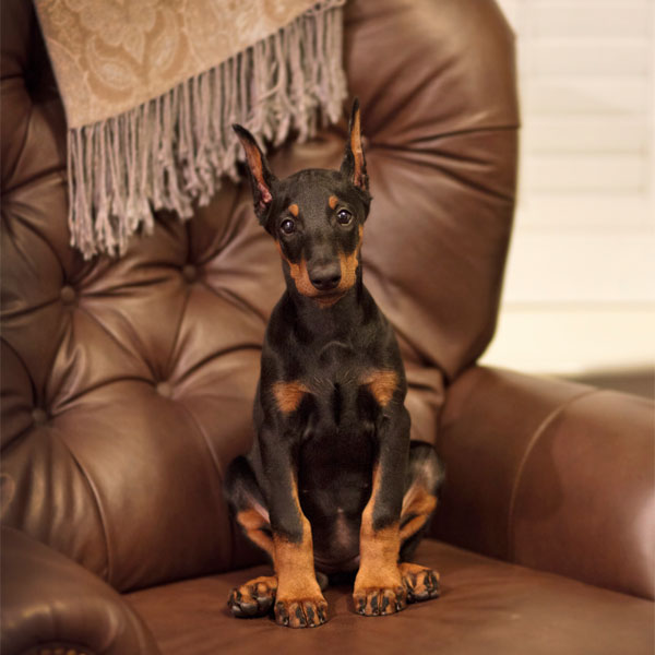 A Doberman Puppy on a chair.
