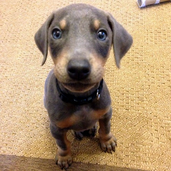 A cute Doberman puppy.
