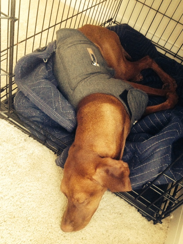 A Vizsla dog in her crate, wearing a Thundershirt.