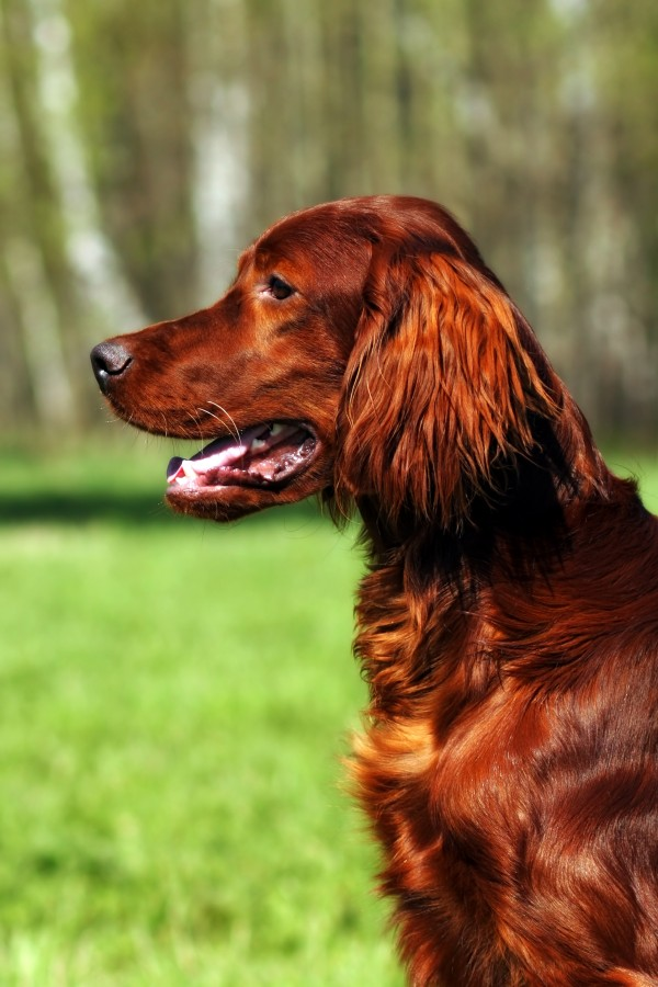Irish Setter courtesy Shutterstock