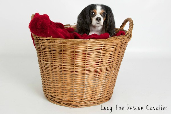 Lucy is now pampered and spoiled. (All photos courtesy Lucy the Rescue Cavalier)