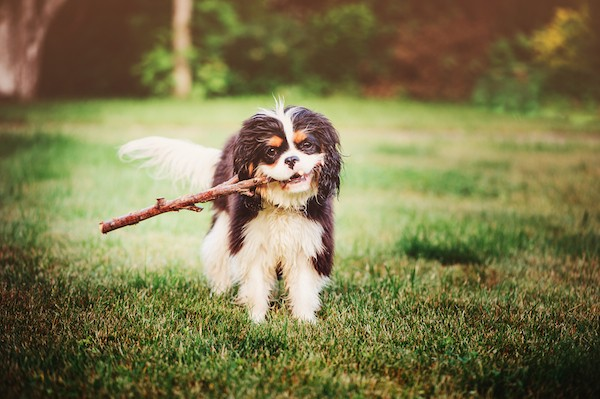 Cavalier King Charles Spaniel by Shutterstock.