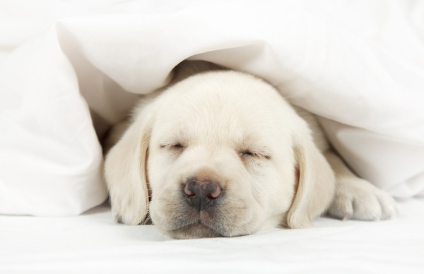 A puppy sleeping in a bed. Photography by Shutterstock.