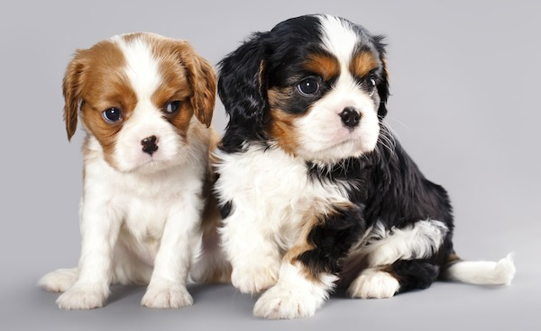 Cavalier King Charles Spaniel puppies by Shutterstock.