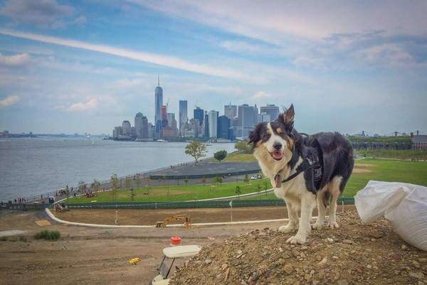Max loves the view at work on Governors Island. (Photo courtesy The Trust for Governors Island)